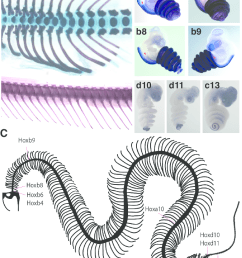 hox gene expression and its relationship to the snake axial skeleton a dorsal [ 811 x 1049 Pixel ]