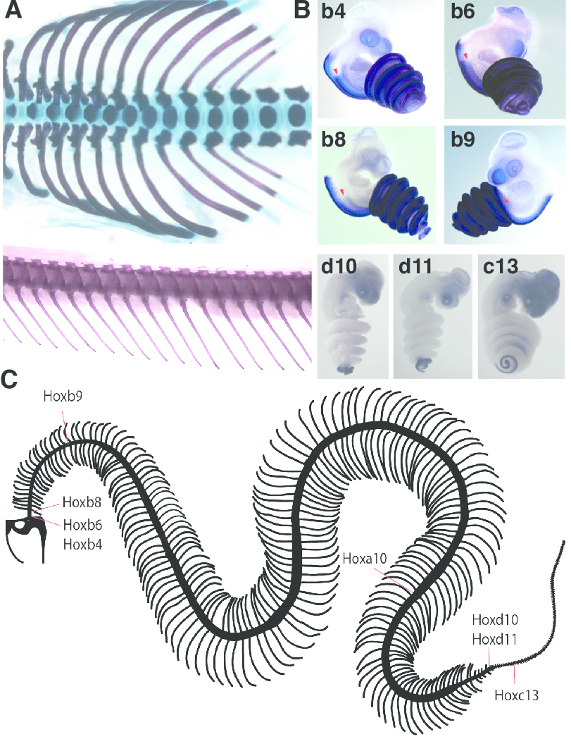 medium resolution of hox gene expression and its relationship to the snake axial skeleton a dorsal