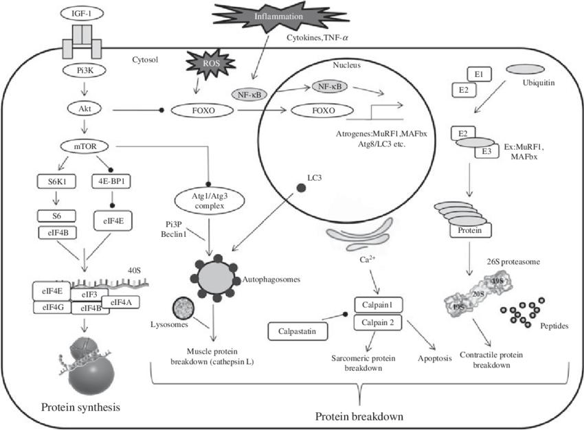 Simplified pathways regulating muscle protein metabolism