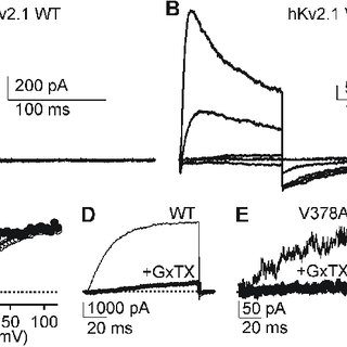 (PDF) A novel epileptic encephalopathy mutation in KCNB1