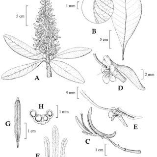 (PDF) Vochysia condorensis (Vochysiaceae), a new species