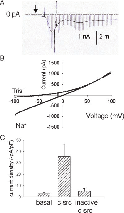 Intracellular dialysis with recombinant p60 c-src leads to