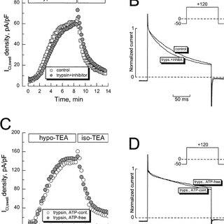 Intracellular trypsin modi fi es voltage-dependent