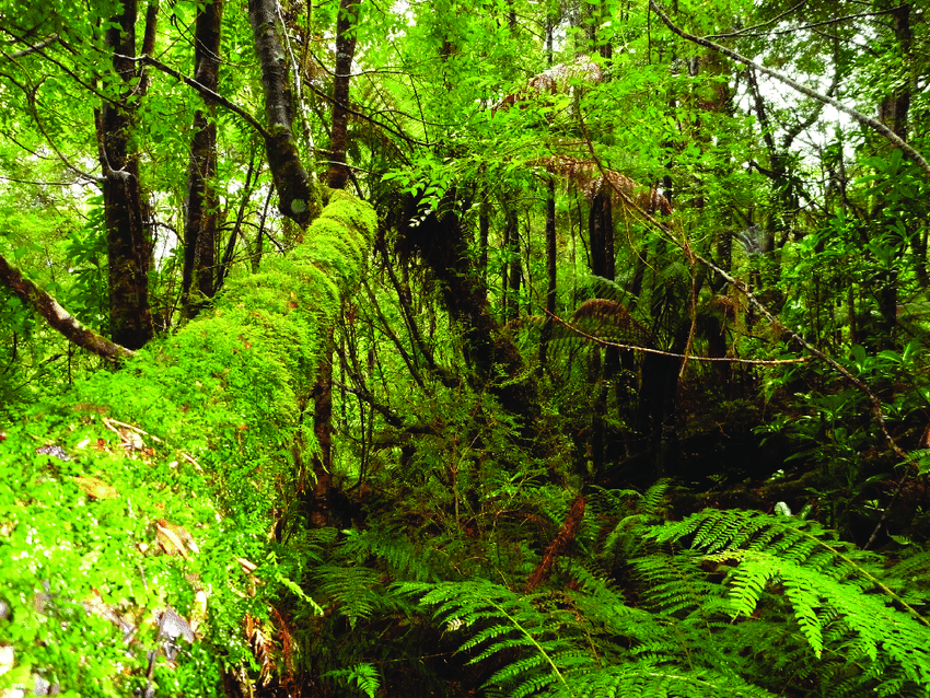 Intensity was more pronounced in temperate deciduous forests than in temperate evergreen coniferous forests (yamamura, 1984). Typical Cool Temperate Rainforest Overlying The Karst And Caves Download Scientific Diagram
