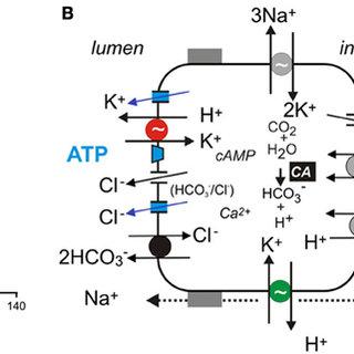 (PDF) Acid-base transport in pancreas—new challenges