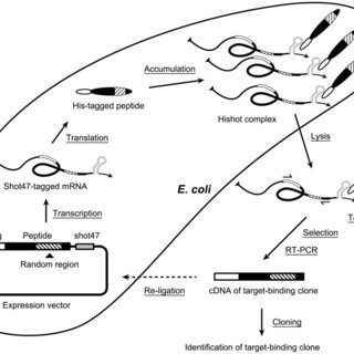 The schema of library plasmid and sequence of the insert