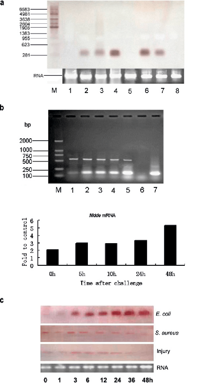 medium resolution of temporal expression of mdde in naive and bacteriachallenged houseflies a northern blot analysis