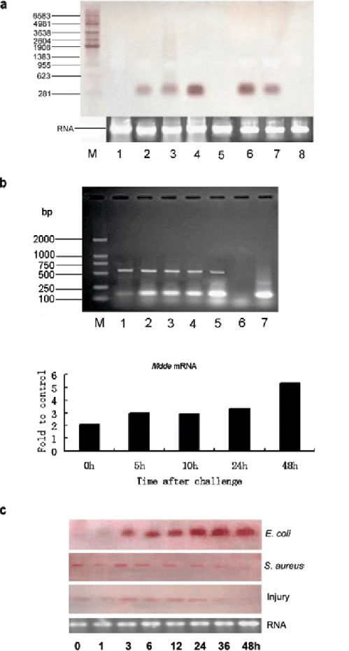 small resolution of temporal expression of mdde in naive and bacteriachallenged houseflies a northern blot analysis