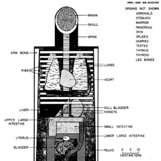 MIRD-5 Phantom. Principal organs in the head and the trunk