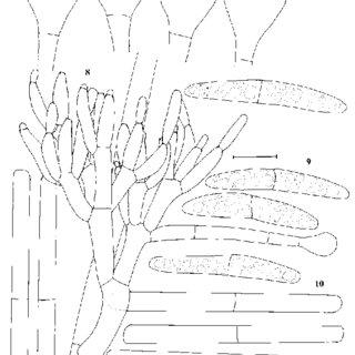 Calonectria hongkongensis (CBS 114828) and Cylindrocladium