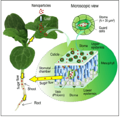Inside Of A Leaf Diagram Ford Radio Wiring 2006 Schematic Nanoparticle Transport Watermelon Plants The Stoma Openings Are 6 7 Lm