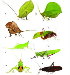 representatives of katydid species recorded during the grensgebergte mountains rap in se suriname  [ 850 x 938 Pixel ]