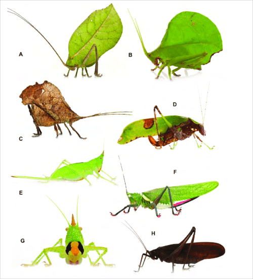 small resolution of representatives of katydid species recorded during the grensgebergte mountains rap in se suriname