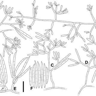 (PDF) Fusarium agapanthi sp. nov, a novel bikaverin and