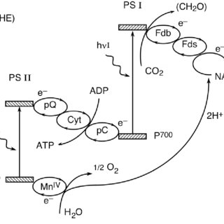 The Z-scheme of green plants photosynthesis: coupling of