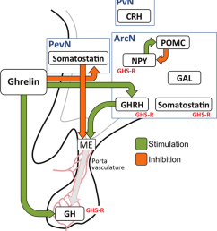 ghrelin acts within the hypothalamus and the anterior pituitary gland download scientific diagram [ 850 x 939 Pixel ]