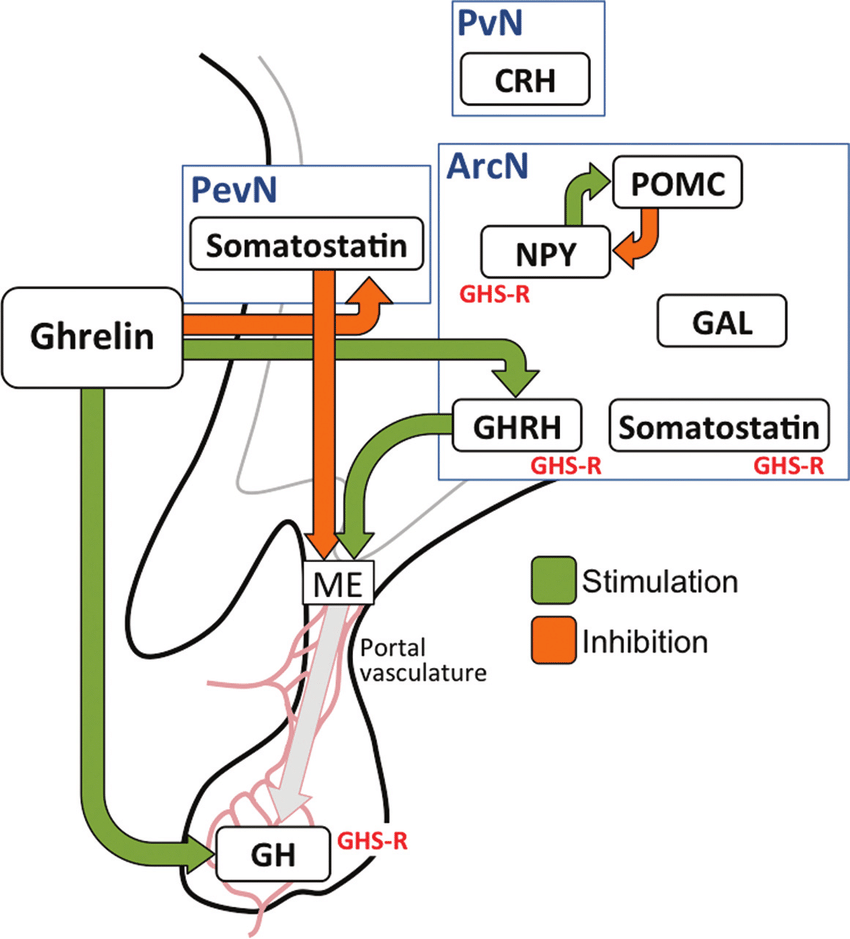 medium resolution of ghrelin acts within the hypothalamus and the anterior pituitary gland download scientific diagram