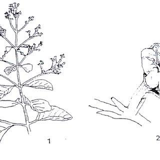 (PDF) Teak (Tectona grandis Linn. f.): A Renowned