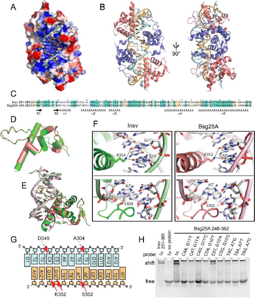 hight resolution of structure of the bsg25a ben domain dna complex a electrostatic rh researchgate net dna replication diagram