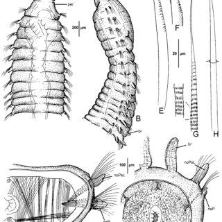 Berkeleyia weddellia n. sp. Holotype (ZMH P-277823). A