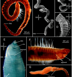a entire worm lateral view holotype usnm [ 850 x 1121 Pixel ]