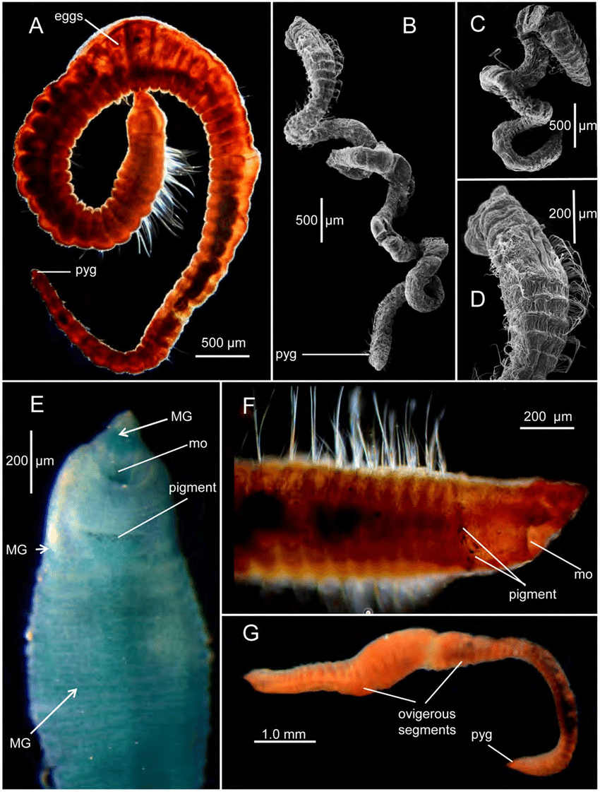 medium resolution of a entire worm lateral view holotype usnm