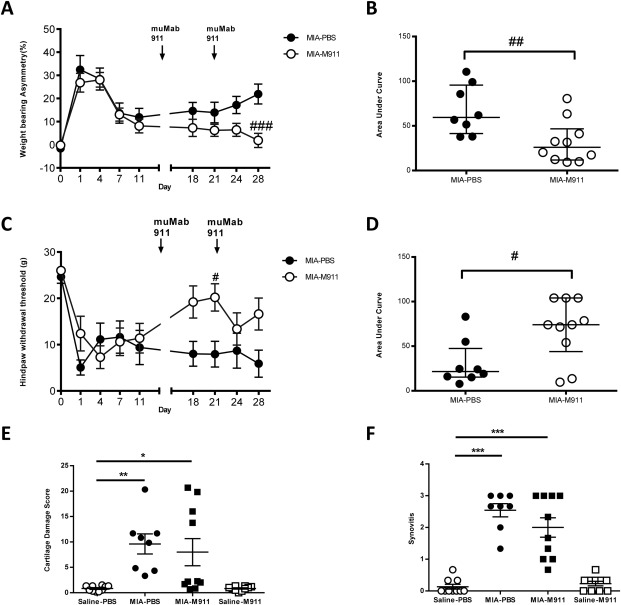 The anti-NGF antibody muMab 911 both prevents and reverses