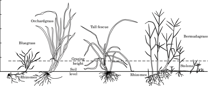 Differences in forage plant morphology from one species to