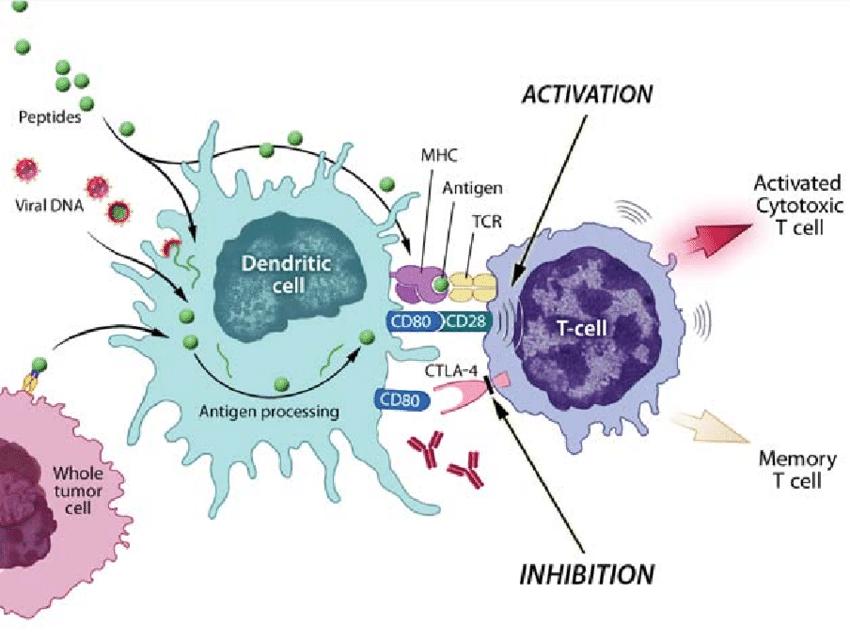 Antigen-presenting cells such as dendritic cells can process antigens...   Download Scientific Diagram