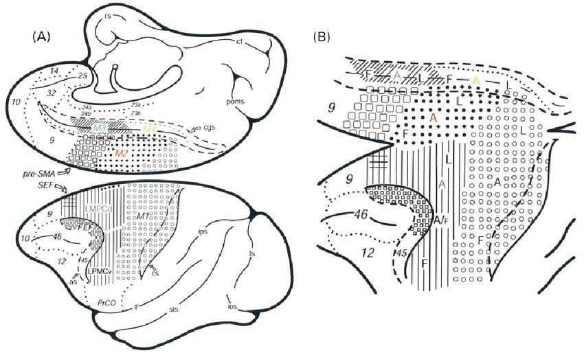 ( A ) Schematic diagrams of the medial (top) and lateral