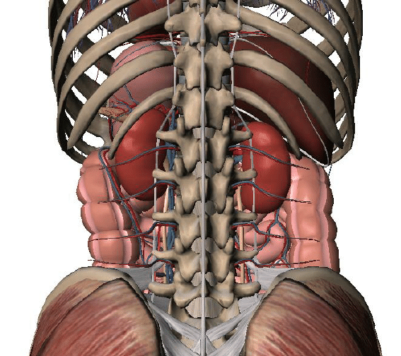 diagram of ribs and organs wiring for kenmore dryer model 110 posterior view the within abdominal cavity. lumbar... | download scientific ...