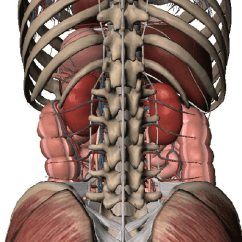 Diagram Of Ribs And Organs 4 Wire Ceiling Fan Wiring Posterior View The Within Abdominal Cavity Lumbar Spine Is Also Shown