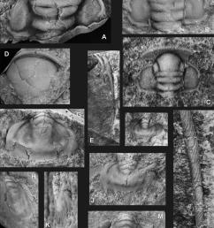 a partial cranidium latex cast of external mould [ 828 x 1184 Pixel ]