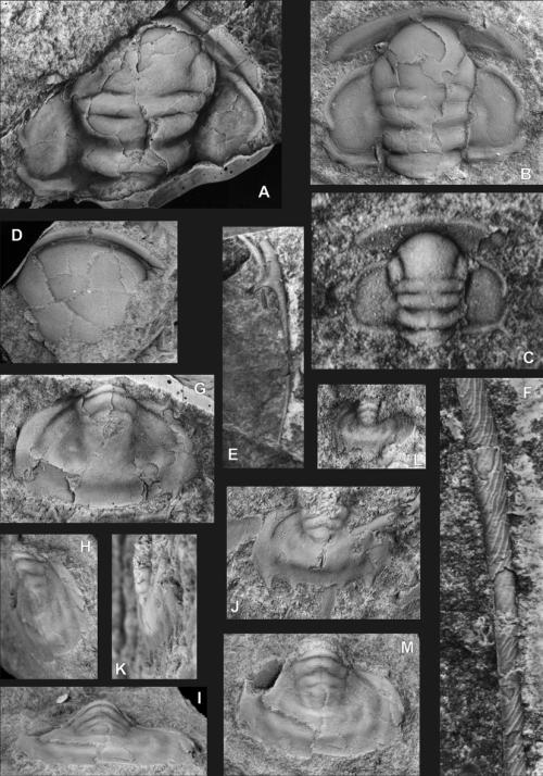small resolution of a partial cranidium latex cast of external mould