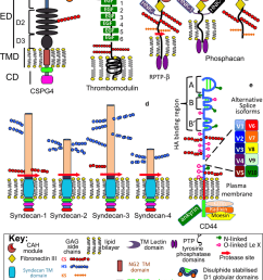 the structural complexity of cell associated cs proteoglycans structural organisation of cell associated [ 850 x 1069 Pixel ]