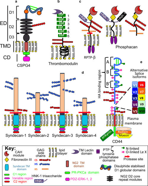 small resolution of the structural complexity of cell associated cs proteoglycans structural organisation of cell associated