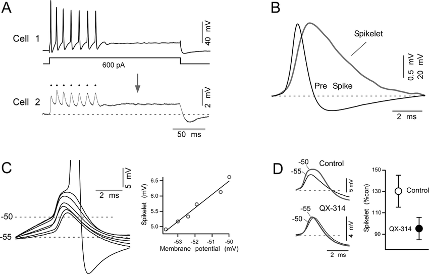 Coupling of action potentials between MesV neurons A
