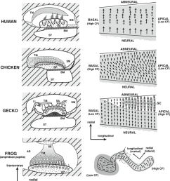 comparative schematic of inner ear anatomy two perspectives are provided for each group a cross sectional view left and a top down view of a section of  [ 850 x 935 Pixel ]