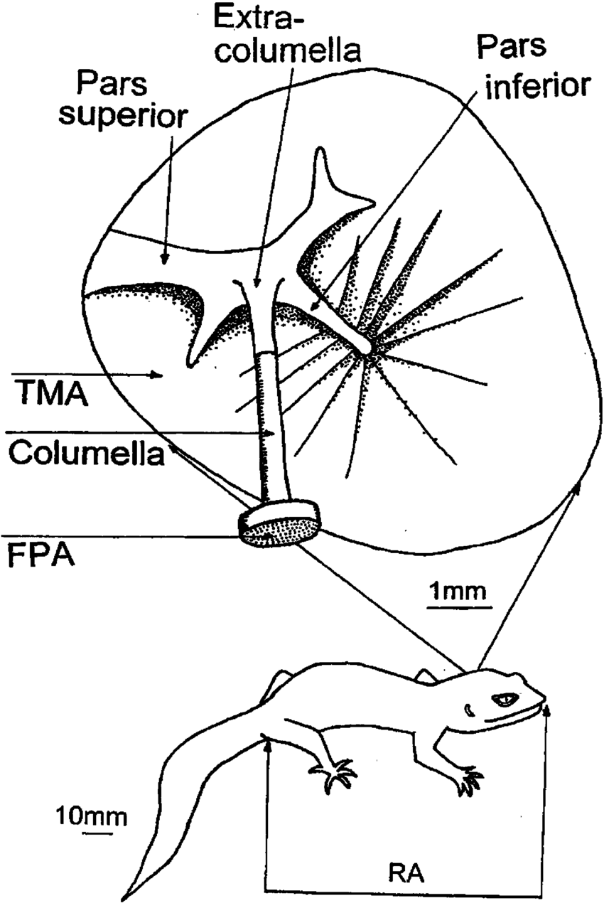 hight resolution of semi diagrammatic sketch of the left middle ear mechanism of a gecko e