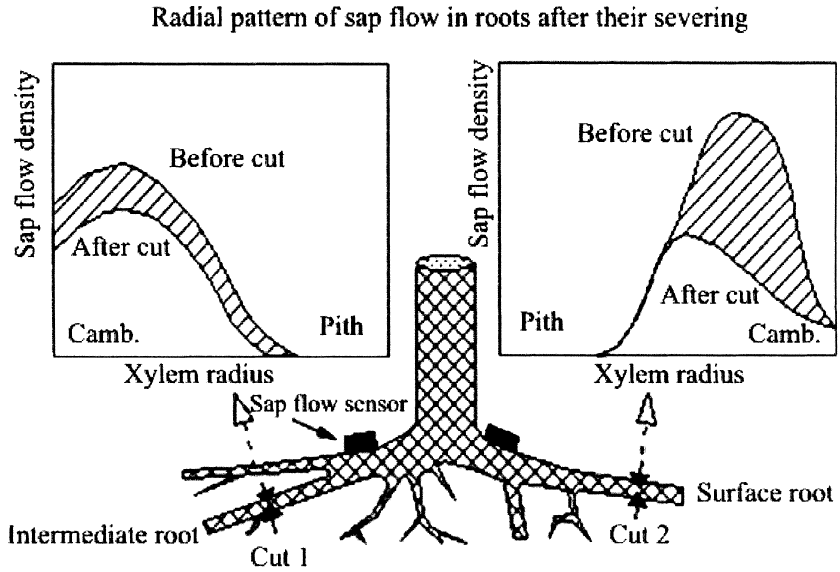 Schematic diagram of a tree root system during sap ̄ow