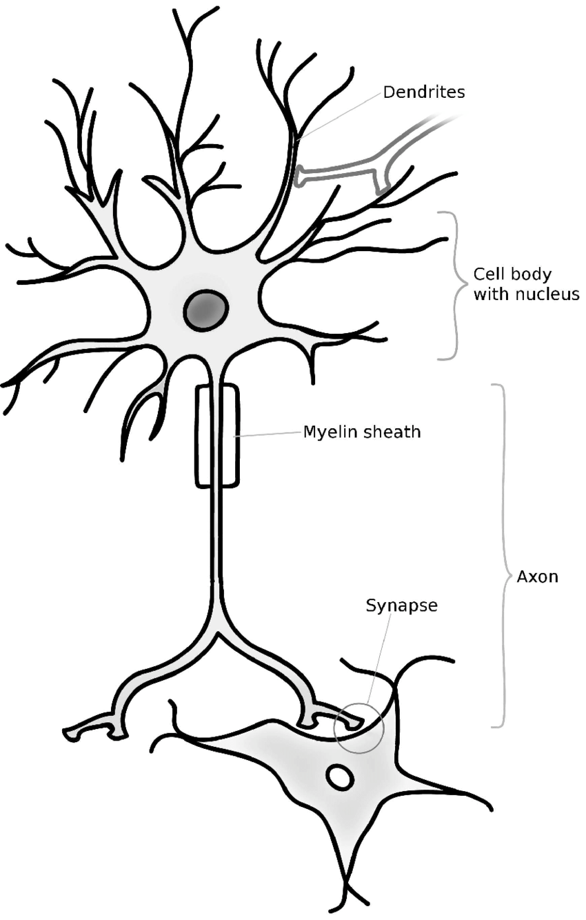 1: Schematic picture of a neuron. The cellular extensions