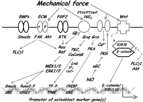 Schematic representation of signaling systems (ECM- FAK