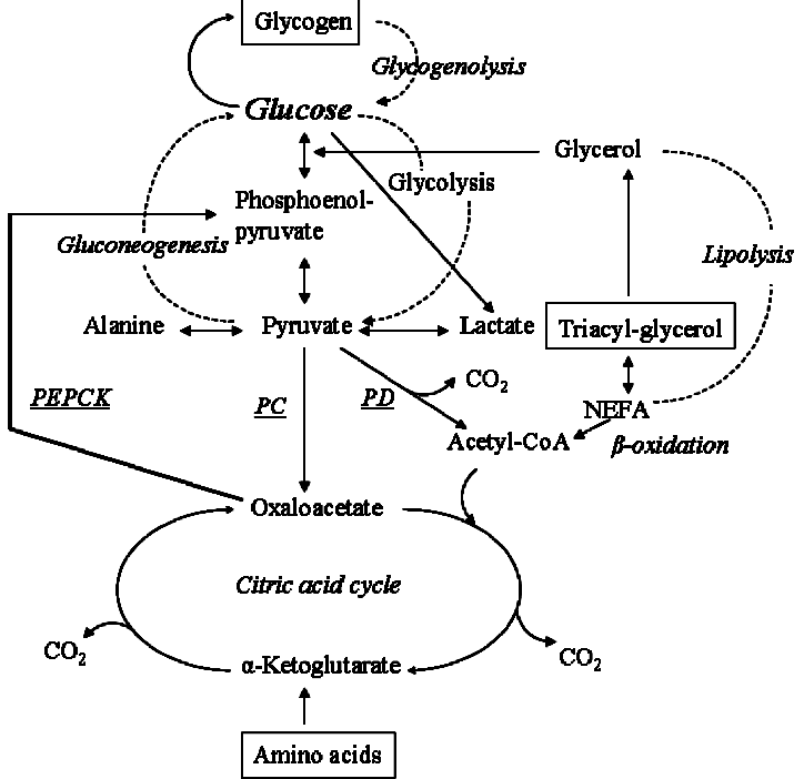 Fig. Glucose metabolism. NEFA, non-esterified fatty acids
