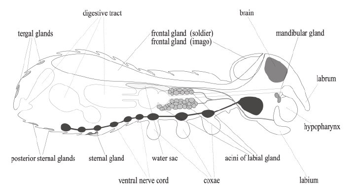 Schematic illustration of the arrangement of the exocrine