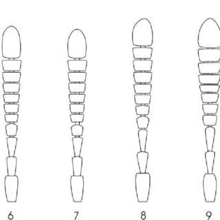 Tinotus spp. Semi-schematic habitus drawings showing
