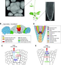 plant meristems tissue structure cellular organization and common download scientific diagram [ 850 x 1011 Pixel ]