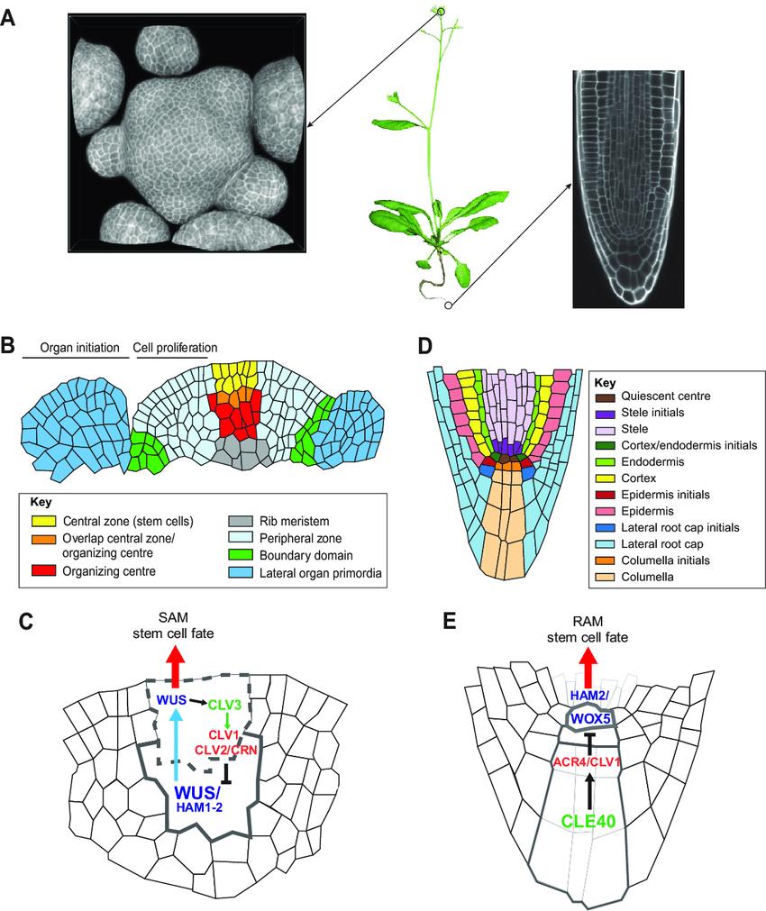 medium resolution of plant meristems tissue structure cellular organization and common download scientific diagram