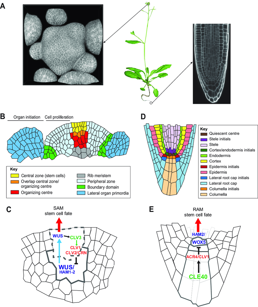 hight resolution of plant meristems tissue structure cellular organization and common download scientific diagram