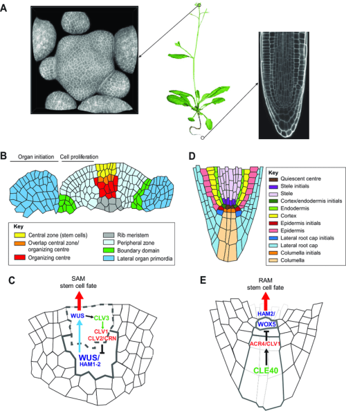 small resolution of plant meristems tissue structure cellular organization and common download scientific diagram