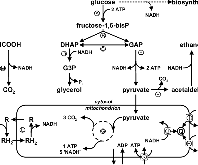 Schematic overview of fermentative and oxidative glucose